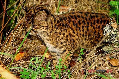 Leopardus guigna, Чилийская кошка
