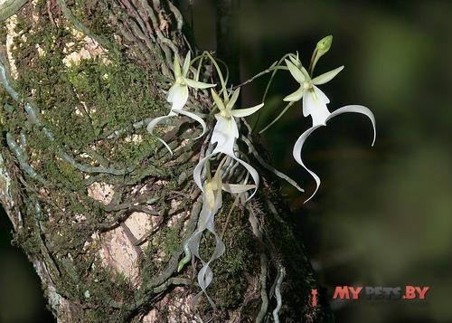 Призрачная орхидея (The Ghost Orchid)