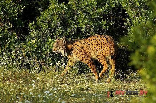 Lynx pardinus