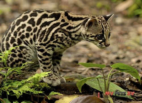 Leopardus wiedii, Длиннохвостая кошка, Маргай