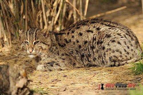 виверровый кот