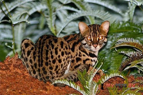 Prionailurus Bengalensis, Азиатская Леопардовая Кошка