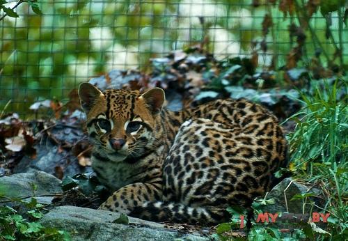 Leopardus pardalis, Оцелот