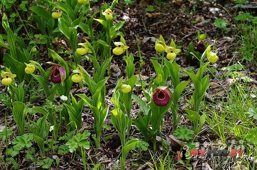 Желтые и фиолетовые башмачки (Cypripedium flavum)