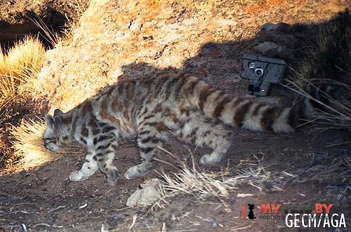 Leopardus jacobita, Андская кошка