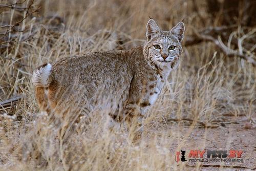 Lynx rufus, Бобкэтс