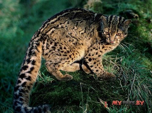 Pardofelis marmorata, Мраморная кошка