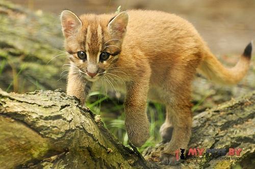 Азиатская золотистая кошка