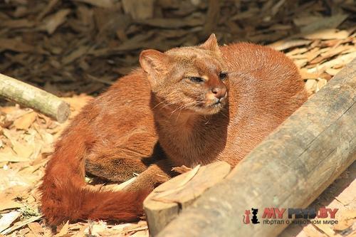 Puma yagouaroundi, Ягуарунди