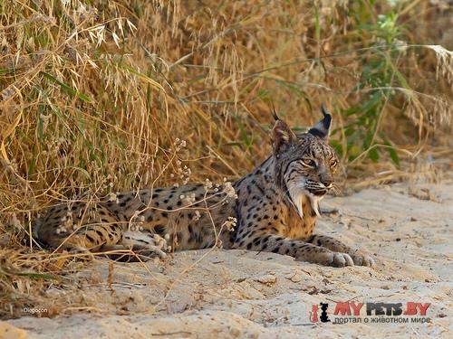 Lynx pardinus, Иберийский рысь