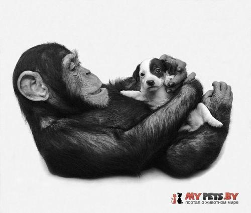 Шимпанзе и щенята