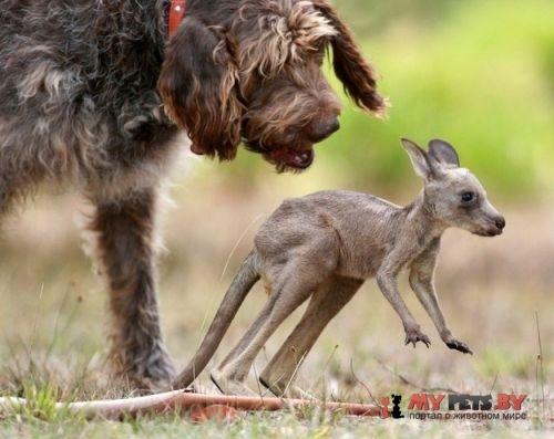 Пойнтер и кенгурёнок