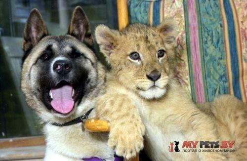 Акита и львёнок