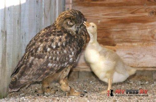 Сова и гусёнок