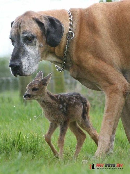 Датский дог и оленёнок