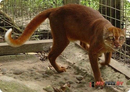 Pardofelis badia, Калимантанская кошка