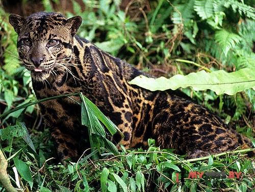 Neofelis diardi, Калимантанский дымчатый леопард