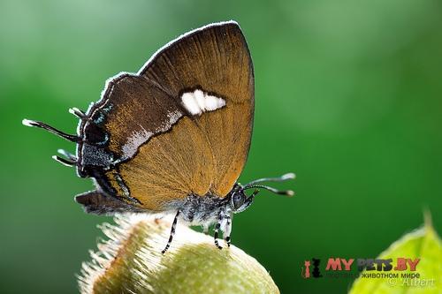 Horaga albimacula