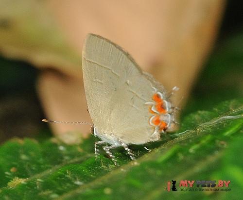 Calycopis puppius
