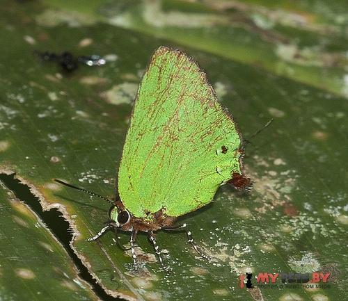 Cyanophrys amyntor