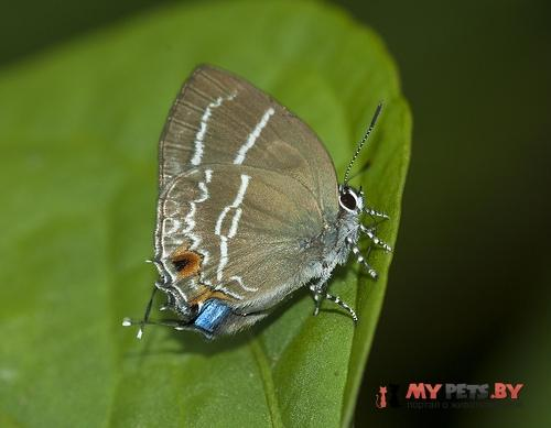 Megathecla cupentus