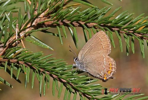 Satyrium ilicis, Хвостатка падубовая