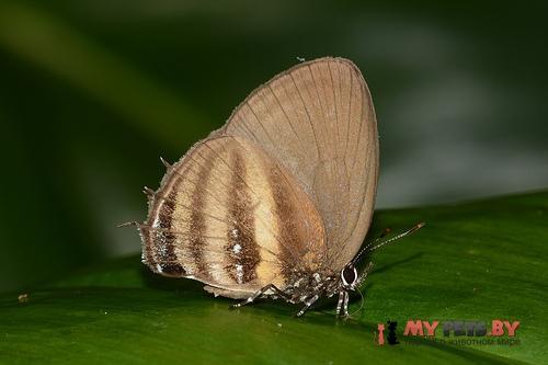 Thestius meridionalis