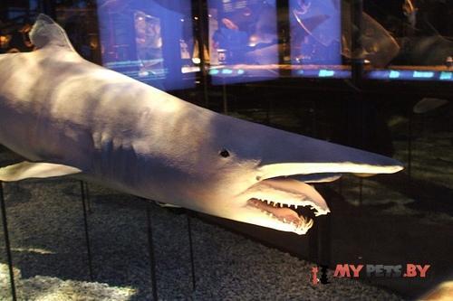 Акула – гоблин