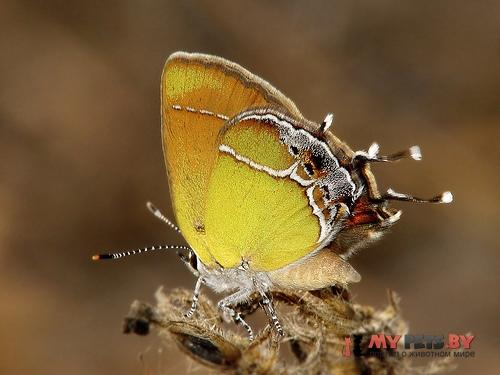 Callophrys xami