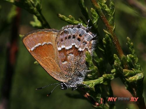 Callophrys thornei