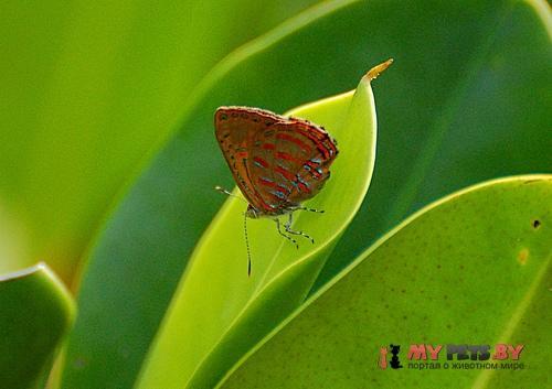 Hypochrysops delicia