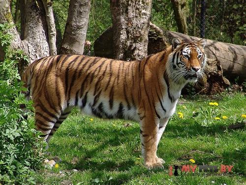 Panthera tigris, Тигр