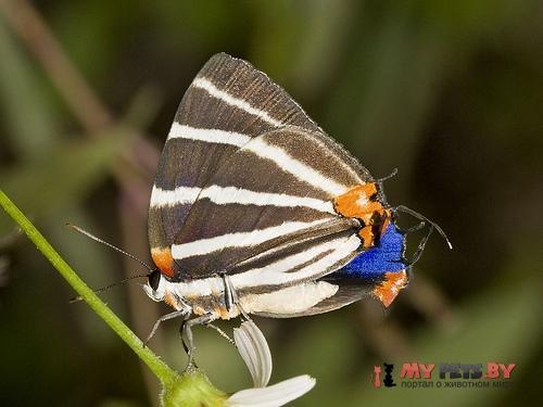 Panthiades bathildis