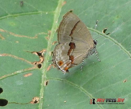 Calycopis centoripa