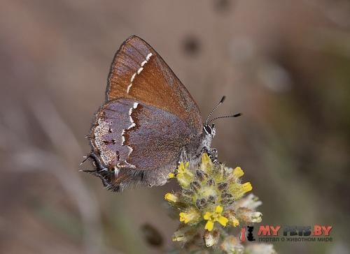 Callophrys muiri