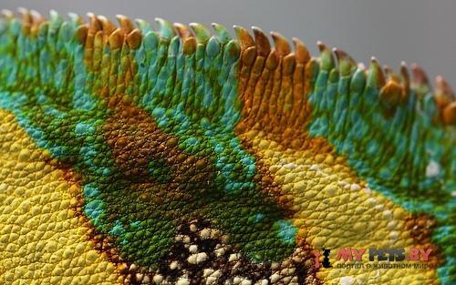 Цвет хамелеона может предсказать исход дуэли