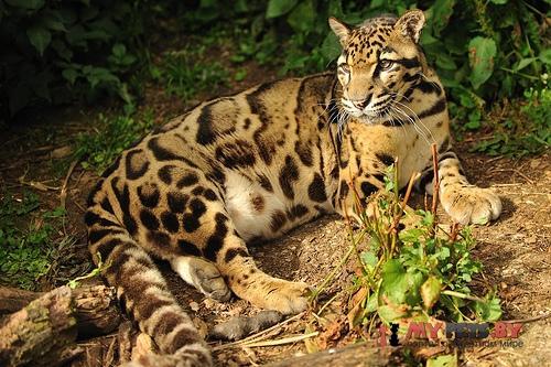 Neofelis nebulosa, Дымчатый леопард