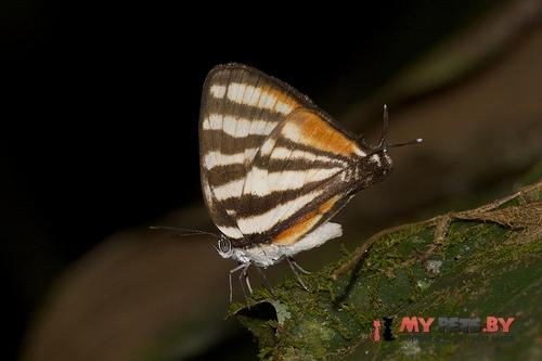 Arawacus togarna