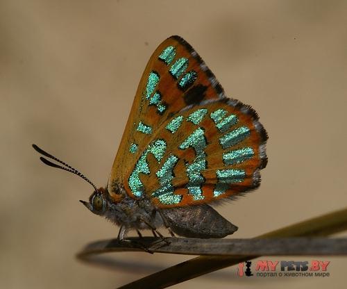 Hypochrysops halyaetus
