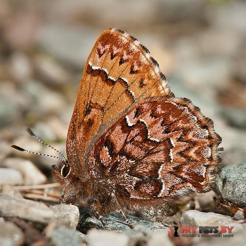 Incisalia eryphon