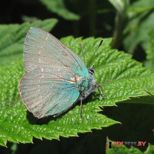 Callophrys chalybeitincta