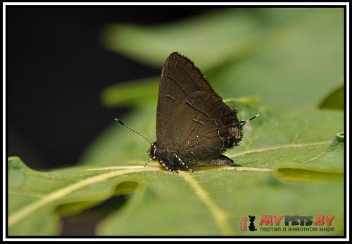 Calycopis bellera