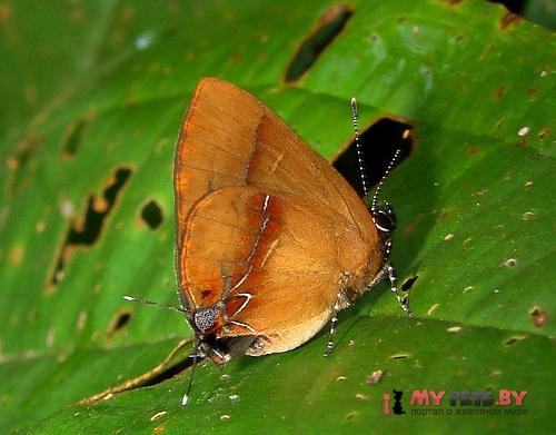 Calycopis demonassa