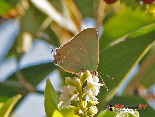 Cyanophrys miserabilis