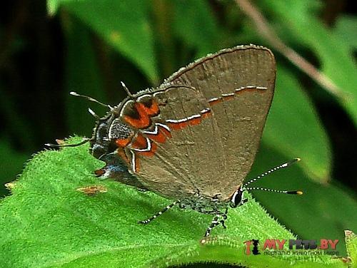 Calycopis drusilla