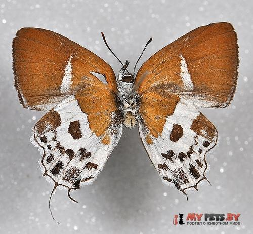 Horaga araotina