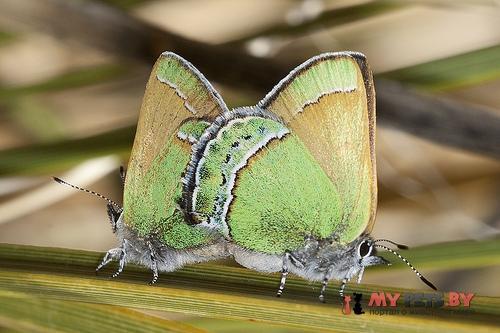 Callophrys mcfarlandi