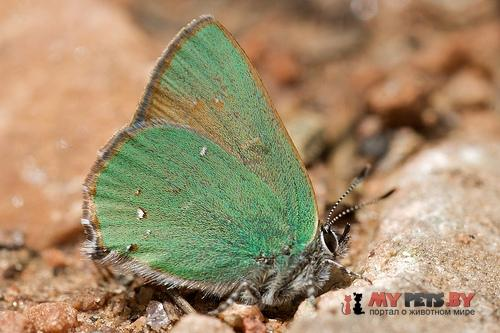 Callophrys affinis