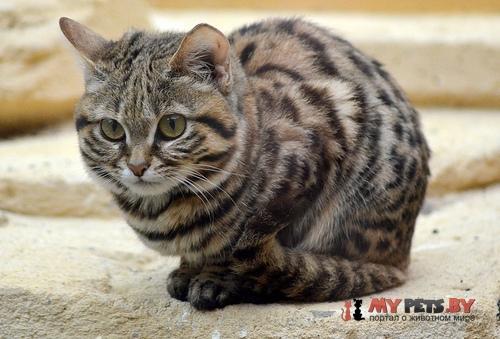 Felis nigripes, Черноногая кошка