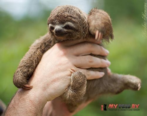 Трехпалый ленивец